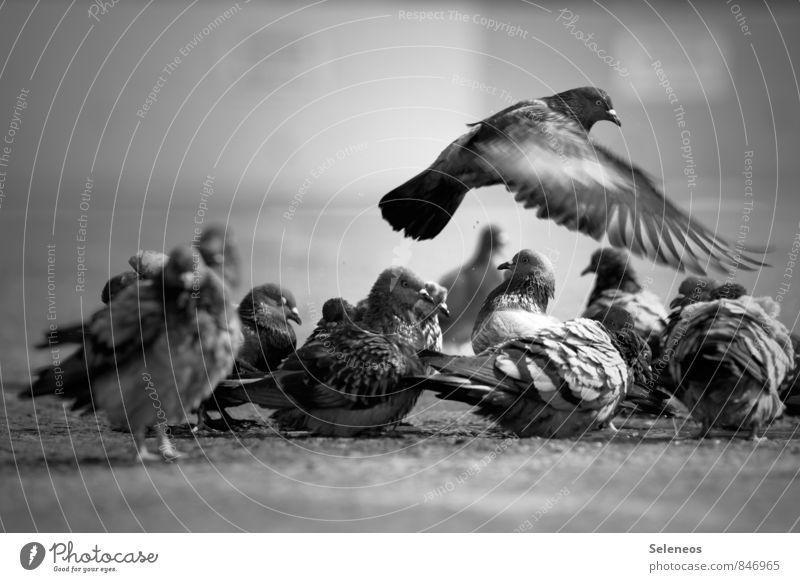 Eine flog übers Taubenfest Tier fliegen Vogel Wildtier Flügel nass Tiergruppe Reinigen Pfütze