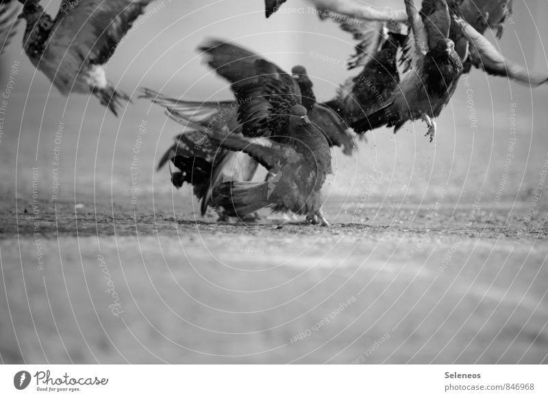 Tauben fliegen auf Ausflug Abenteuer Freiheit Straße Tier Wildtier Vogel Tiergruppe natürlich Flugzeugstart Abheben Schwarzweißfoto Außenaufnahme Tag