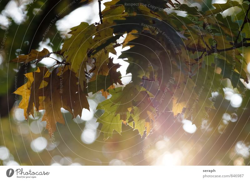 Herbstblätter Jahreszeiten Blatt mehrfarbig Wald Ahorn Ahornblatt change Biomasse Natur Pflanze herbstlich Farbe Baum gefallen Blattgrün Erneuerung