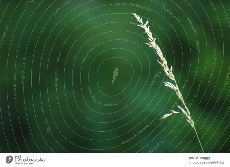 Singlesein Natur grün Wiese Gras Garten Weide Halm Single