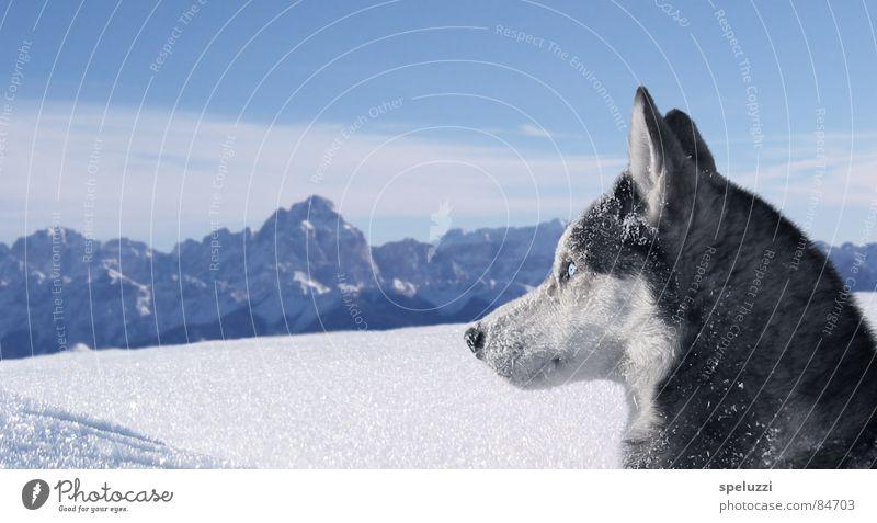 Siberian husky Blake Winter Tier Hund Schlittenhund Husky