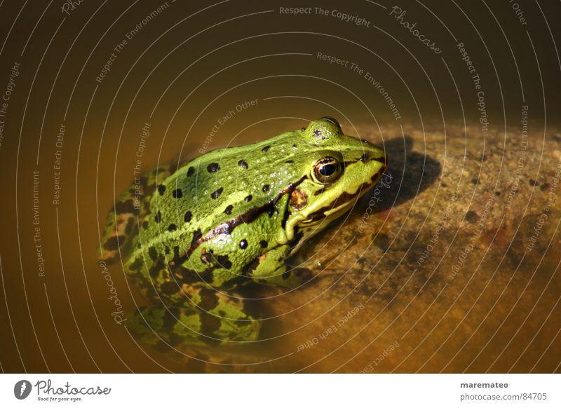Küss mich, ich bin ein... Frosch! Was sonst? Wasser grün Tier gelb kalt Wärme See braun Schwimmen & Baden Schönes Wetter Brunnen Physik Küssen Im Wasser treiben