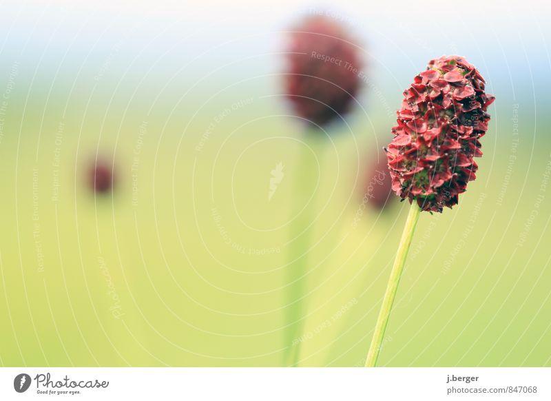 . * ,* Natur Landschaft Pflanze Sommer Blume Gras Sträucher Blüte Wildpflanze blau grün rot Oval Farbfoto Gedeckte Farben Außenaufnahme Nahaufnahme