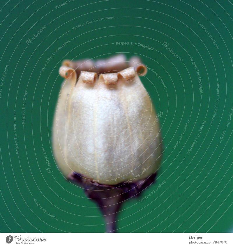 gepellt Natur Pflanze Sommer Blume Blüte Wildpflanze exotisch braun grün beige Farbfoto Gedeckte Farben Außenaufnahme Nahaufnahme Detailaufnahme Makroaufnahme