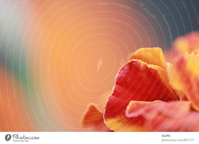 Blumenecke mit Tagetes an einem warmen Sommertag Studentenblume orange Sommerblume Glückwünsche Romantik Sommerfarbe warme Farben blühende Sommerblume