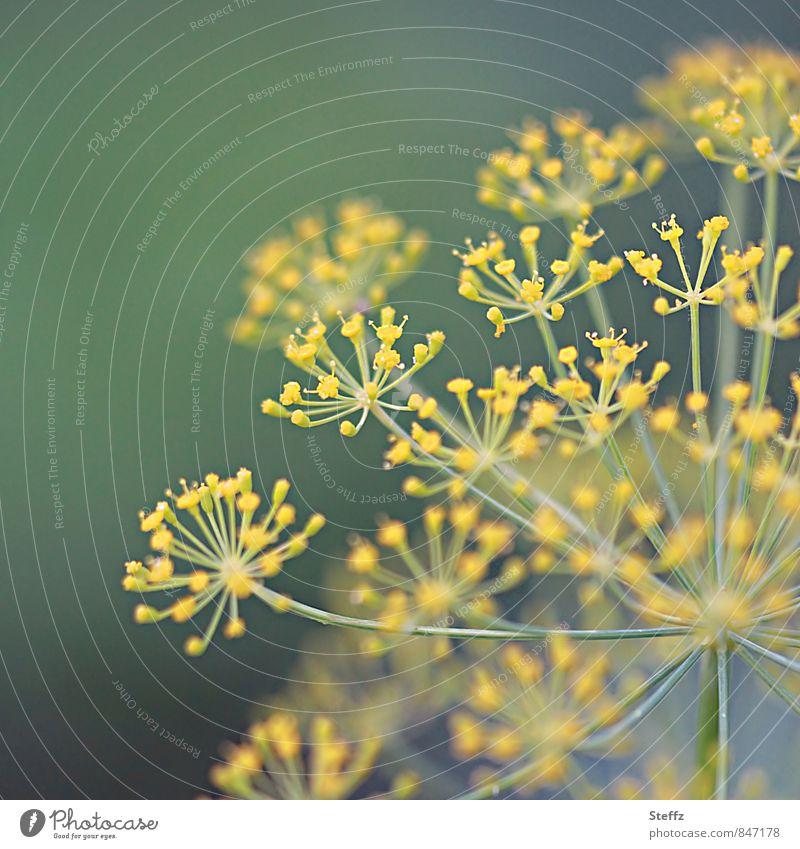 Dill-watching Natur Sommer Pflanze Blüte Nutzpflanze Dillblüten Kräuter & Gewürze Gartenpflanzen Blühend gelb grün krautig Lebensmittel Farbfoto Außenaufnahme