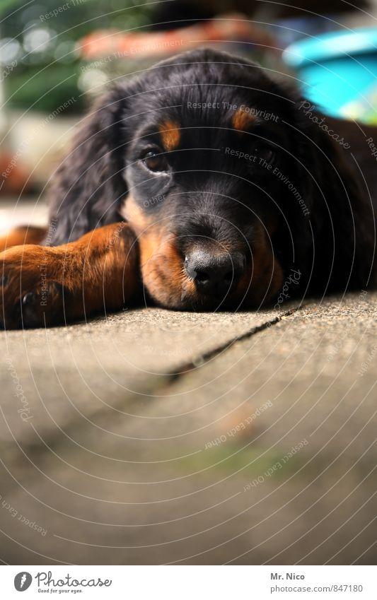 snoop dogg Hund Erholung ruhig Tier schwarz braun liegen beobachten Fell Wachsamkeit Müdigkeit Haustier Pfote Schnauze Welpe Jagdhund