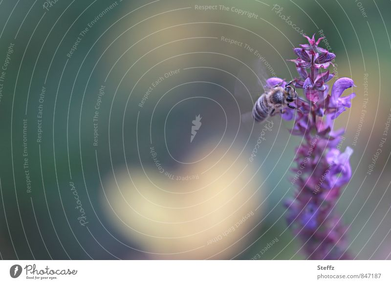 ein sanfter Flügelschlag in Herzensnähe Salbei Biene Honigbiene Idylle Herzform herzlich herzförmig idyllisch Salbeiblüte Blume Romantik Salbeiblüten