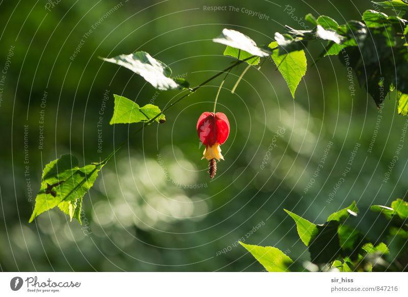 Erleuchtet Natur Pflanze Blatt Blüte Duft frisch schön gelb grün rot Unschärfe hängend blühen Blühend durchscheinend durchleuchtet durchsichtig erleuchten