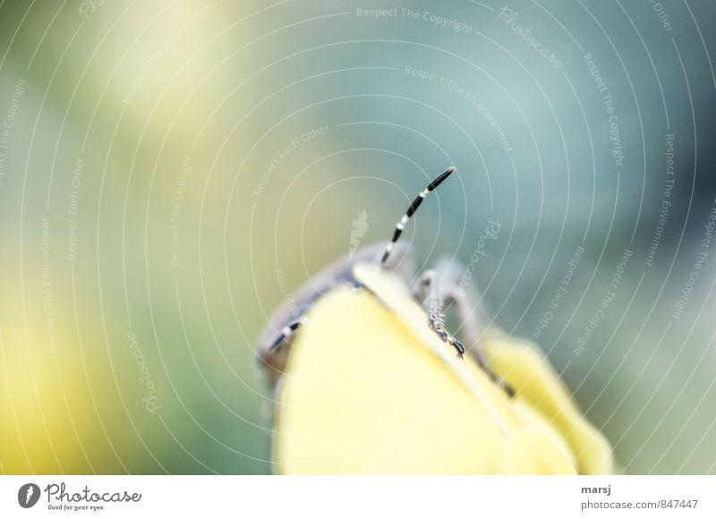 Ein Fühler von? Tier Wildtier Insekt 1 beobachten krabbeln außergewöhnlich dünn authentisch einfach klein niedlich gelb schwarz Empfang berühren sensibel fein