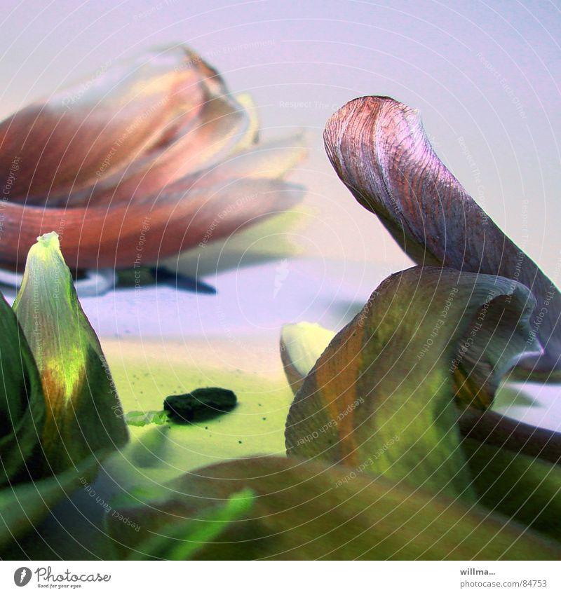 - sanft entblättert - Blume Erholung Blüte Frühling Vergänglichkeit Blühend Blumenstrauß Tulpe vergangen getrocknet verblüht Blütenblatt welk dehydrieren