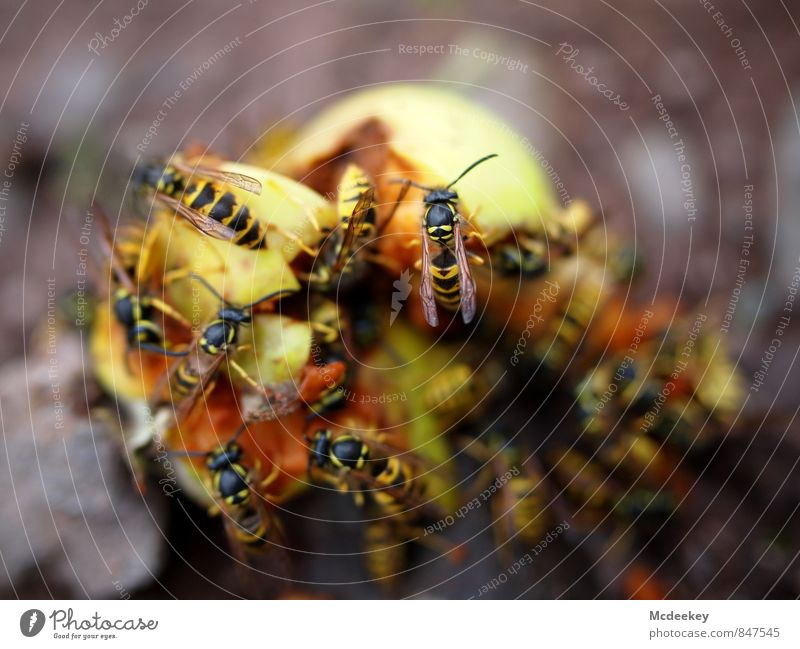 Wespen Buffet Lebensmittel Frucht Apfel Alkohol Natur Sommer Schönes Wetter Wärme Feld Tier Nutztier Wildtier Totes Tier Tiergruppe fliegen Fressen genießen