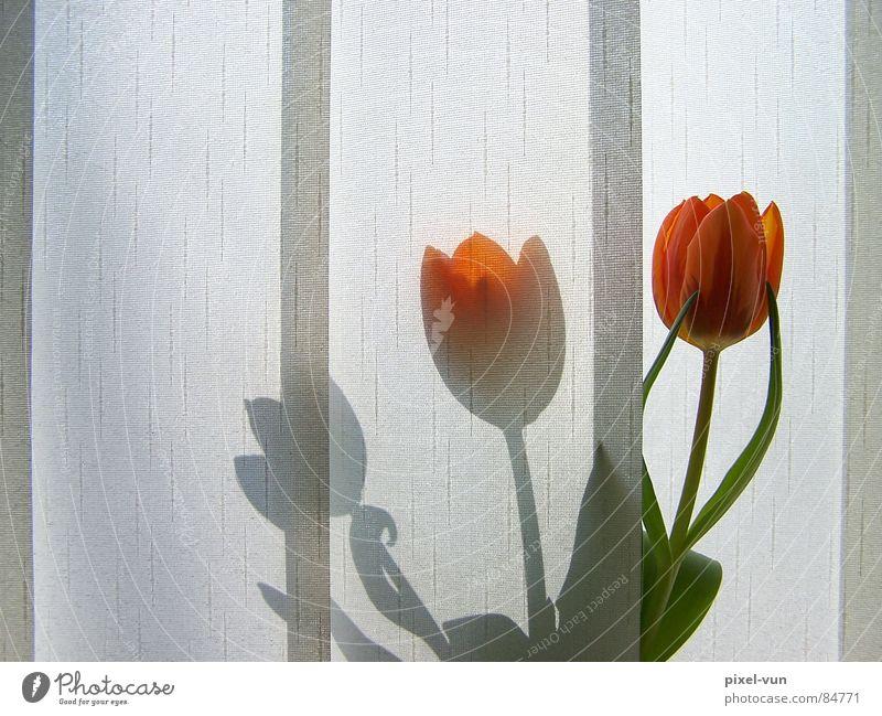 Schattenspiel Gärtnerei Knollengewächse Frühlingsblume Tulpe Vase rot Blüte Blume Frühblüher Licht Lichtspiel Fenster Morgen Beet Vorhang Sichtschutz