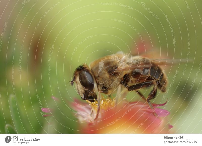Sie sticht nicht! Natur Pflanze Blüte Mittagsblumen Sukkulenten Tier Nutztier Wildtier Fliege Insekt Mistbiene Zweiflügler Schwebfliege 1 klein braun schwarz