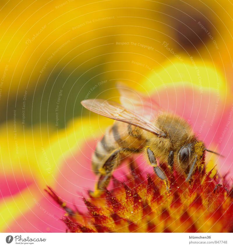 Schöner Arbeitsplatz... Blüte Roter Sonnenhut Tier Nutztier Wildtier Biene Honigbiene Insekt Blühend klein natürlich schön feminin Sammlung bestäuben Fressen