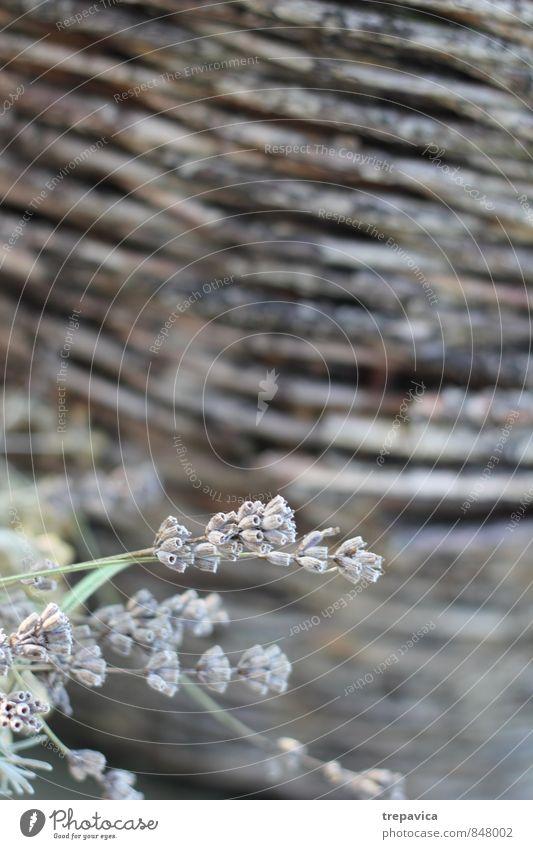 Lavendel Natur Ferien & Urlaub & Reisen Pflanze schön Sommer Erholung Blume Umwelt Wiese Blüte Freiheit Gesundheit Garten Stimmung Gesundheitswesen Feld