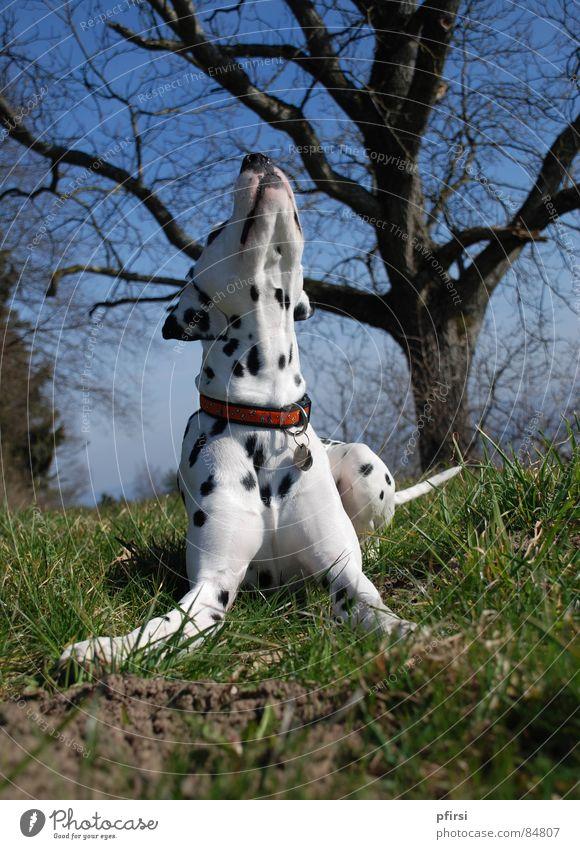 Frühling liegt in der Luft! Hund Spaziergang Säugetier Tier Dalmatiner Gassi gehen Dalmatien