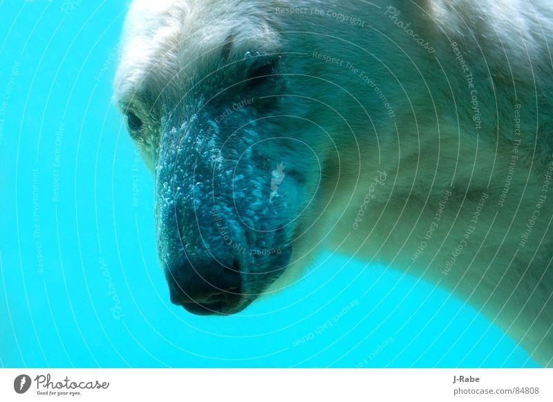 Eisbär - eiskalt 2 Wasser Winter kalt Eis frisch tauchen Säugetier Bär Tier lichtvoll Eisbär Arktis wetterfest