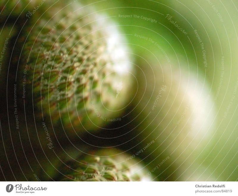 Albiflorum Pflanze Makroaufnahme Protea grün rund Blume Blüte Nahaufnahme Kugel Strukturen & Formen macrophotography albiflorum