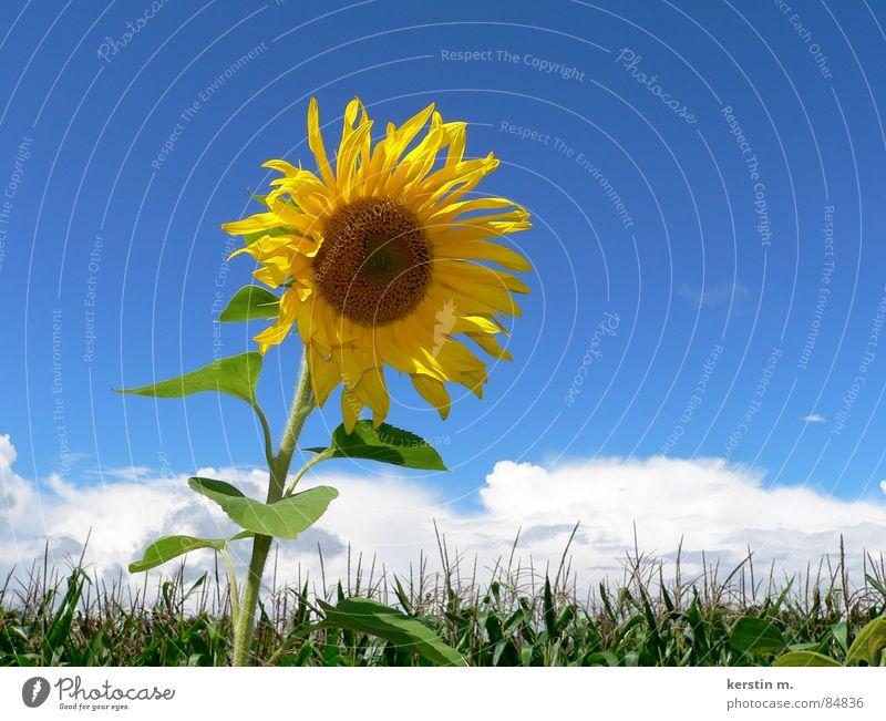 sommerzeit Himmel blau Sommer Ferien & Urlaub & Reisen gelb Sonnenblume blau-gelb
