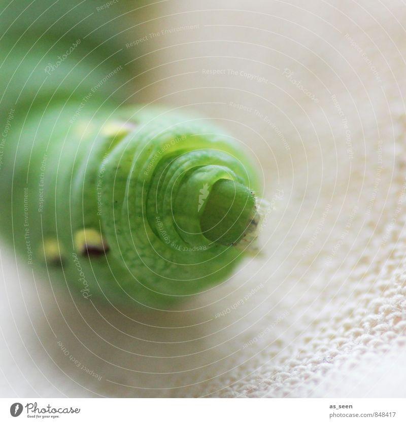 Fette grüne Raupe Nimmersatt Natur Tier Sommer Garten Wildtier Schmetterling Motte Insekt 1 Larve Fressen hängen authentisch außergewöhnlich dick Trägheit