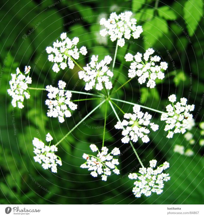 feuerwerk Blume grün klein Pflanze Blüte Frühling Sommer weiß Wiese Natur