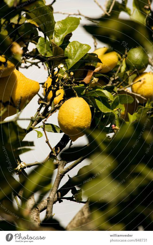 Zitrone an einem Zitronenbaum hängend Leben Sommer Sommerurlaub Sonne Natur Tier Pflanze sauer gelb grün Karibisches Meer Mittelmeer Frucht Griechenland