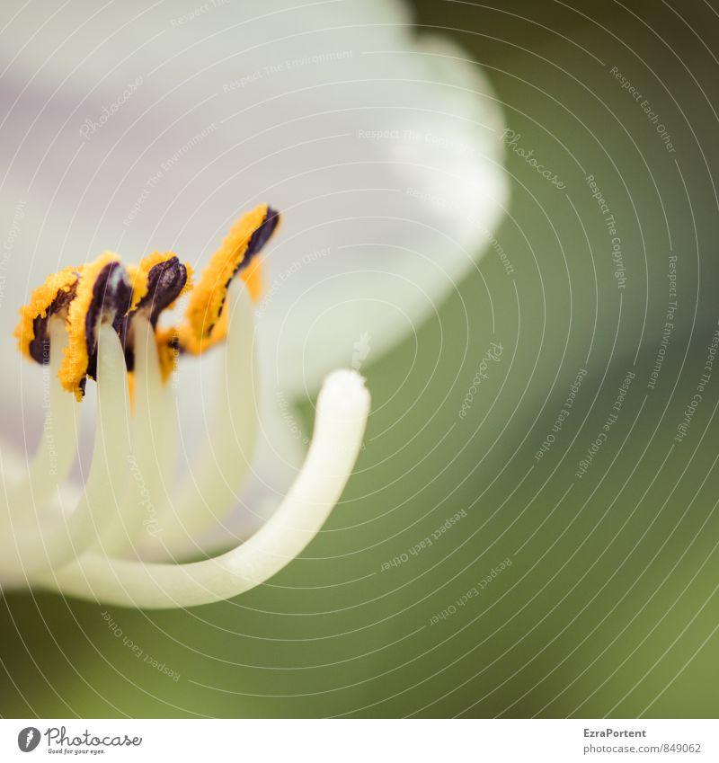 zusammenstehen Umwelt Natur Pflanze Frühling Sommer Blume Blüte Garten ästhetisch exotisch hell natürlich schön grün orange weiß Blütenstempel Pollen Lilien