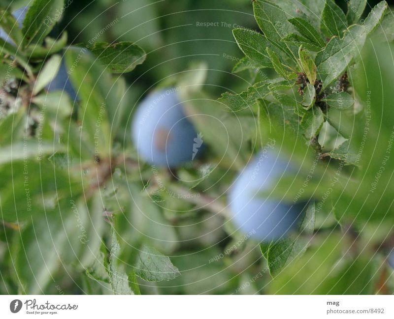 schlehe Pflanze Beerensträucher Heilpflanzen Spirituosen Schwarzdorn