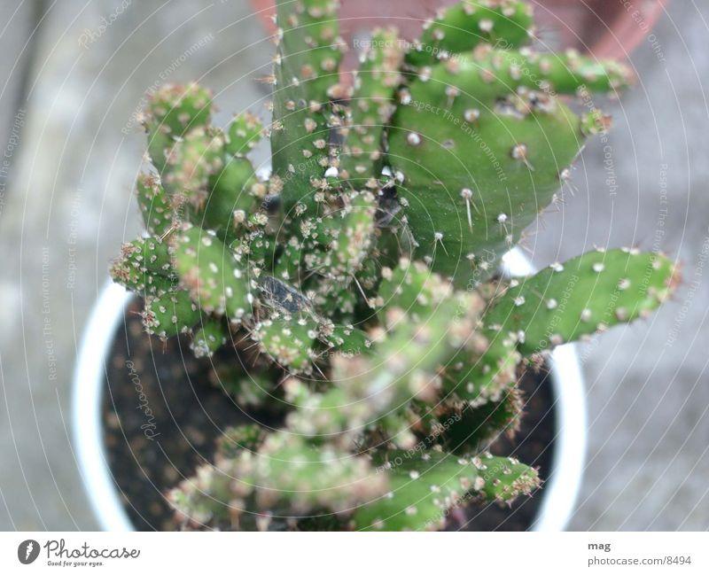 kaktus Natur Pflanze Kaktus