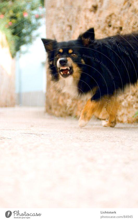 bleib mir fern Hund Angst gefährlich Ohr Asphalt Wut Bürgersteig Straßenbelag Säugetier Panik Ärger Teer Tier Kroatien bissig