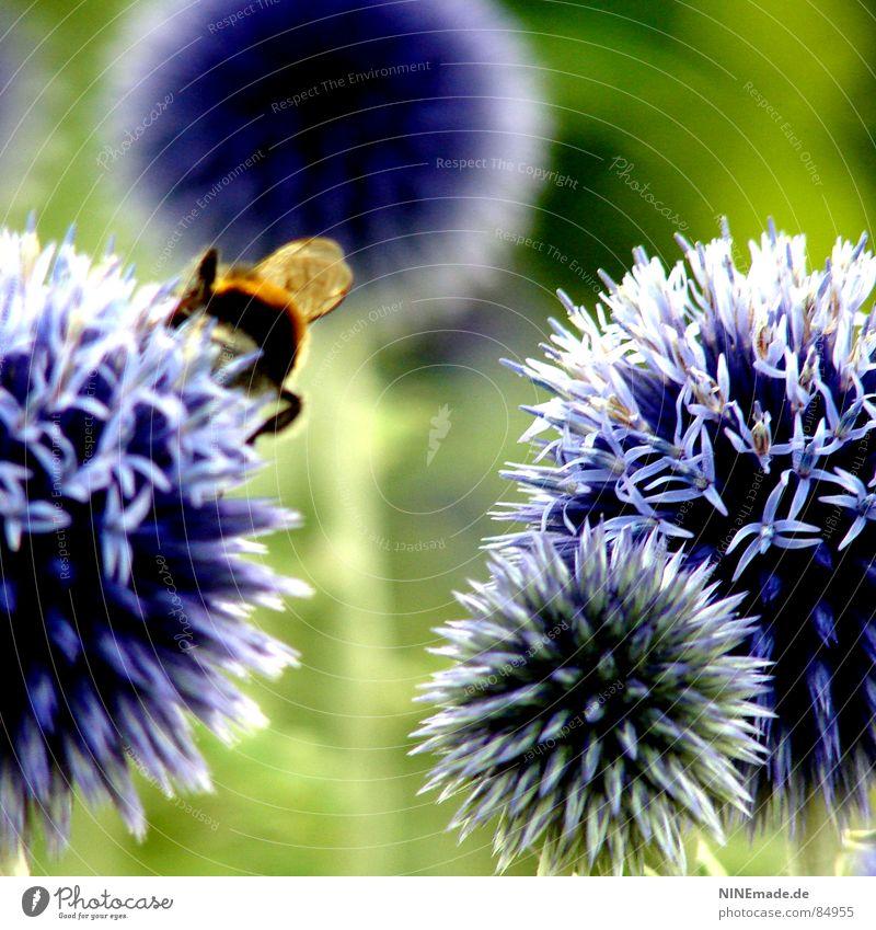 Die Geschichte mit den Hummeln und den Blumen ... Blüte bestäuben grün rund stachelig blau-rot violett Blühend Unschärfe 4 Insekt zerzaust Frühling Sommer
