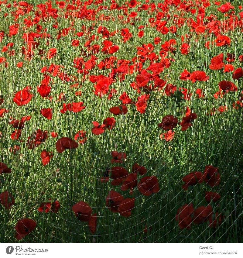 lotta poppies Natur grün rot Sommer Blüte mehrere Blühend Blumenwiese Mohnfeld Klatschmohn