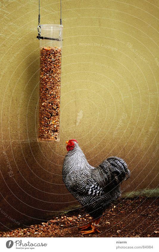gott in frankreich rot Tier Ernährung Wand Lebensmittel Vogel mehrere Feder viele Getreide Korn Ei Fressen Samen Festessen füttern
