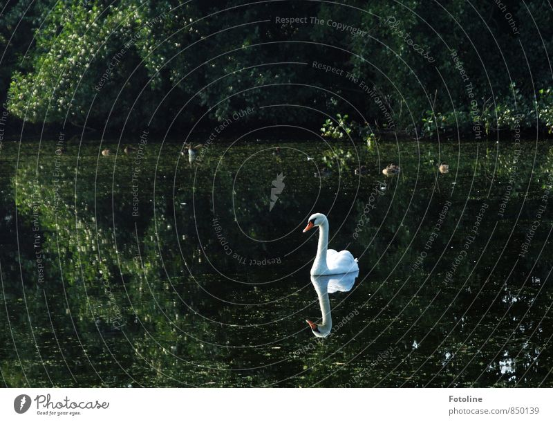 Mein lieber Schwan! Umwelt Natur Pflanze Tier Urelemente Wasser Sommer Sträucher Seeufer Teich Wildtier Vogel 1 ästhetisch hell nass natürlich grün weiß