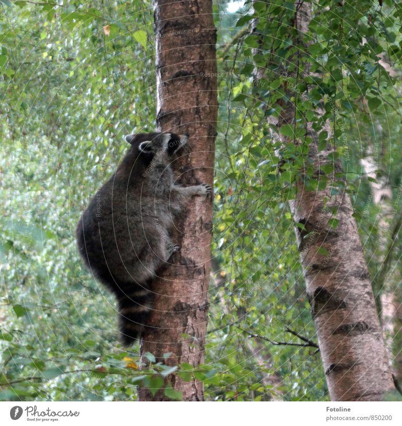 Auf die Bäume ihr Bären... Natur Pflanze Sommer Baum Landschaft Blatt Tier Wald Umwelt natürlich Wildtier frei Geschwindigkeit hoch weich sportlich