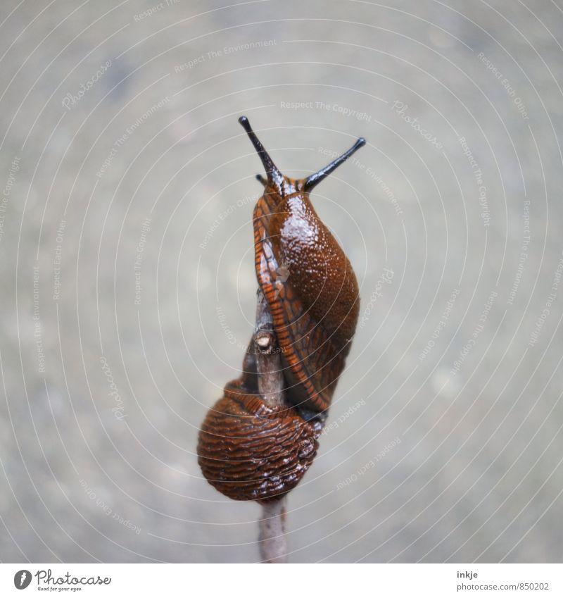 Helix bis zum Gipfel Tier Wildtier Schnecke Nacktschnecken 1 Bewegung hängen Ekel nackt nass natürlich oben braun grau anstrengen schleimig helix gedreht