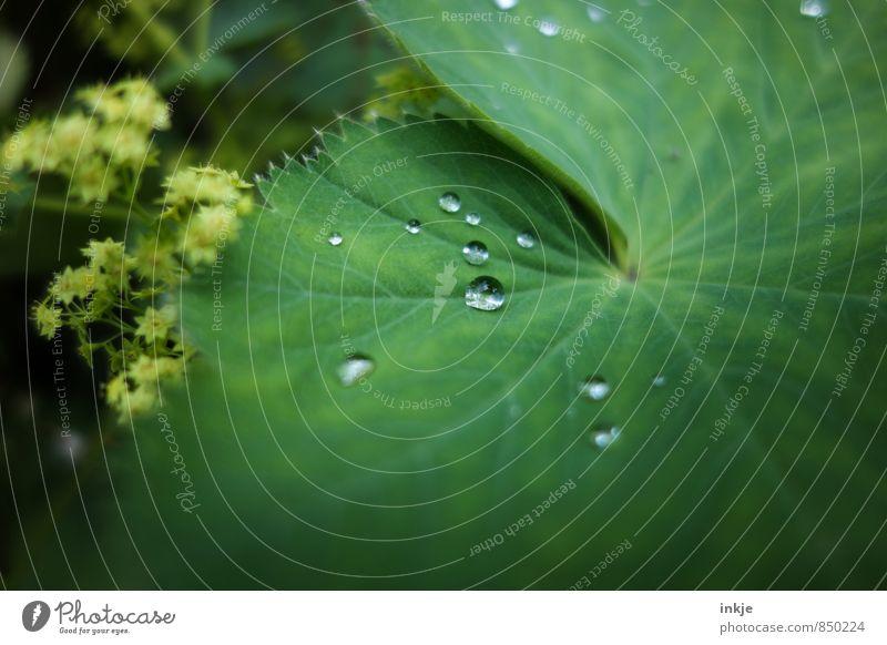 Tröpfchen Natur Wassertropfen Frühling Sommer Schönes Wetter Regen Pflanze Blatt Frauenmantelblatt liegen frisch klein nass rund saftig grün Farbfoto