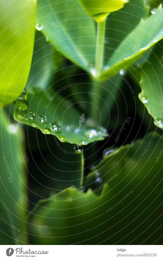 Tröpfchen Natur Wassertropfen Frühling Sommer Schönes Wetter Regen Pflanze Blatt Grünpflanze Garten Park liegen frisch nass natürlich rund saftig grün sattgrün