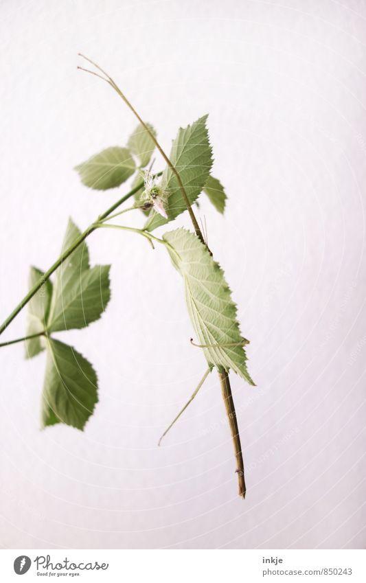 Tarnung ist alles. Pflanze Tier Blatt Brombeerblätter Haustier Wildtier Insekt stabheuschrecke Heuschrecke 1 hängen außergewöhnlich dünn lang grün weiß