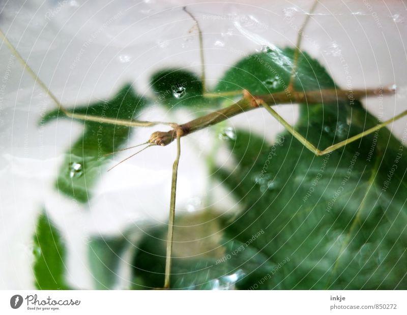 Luft nach oben Pflanze Blatt Tier Haustier Wildtier Insekt Heuschrecke stabheuschrecke Terrarium 1 hängen hocken dünn exotisch lang nah grün Tierhaltung
