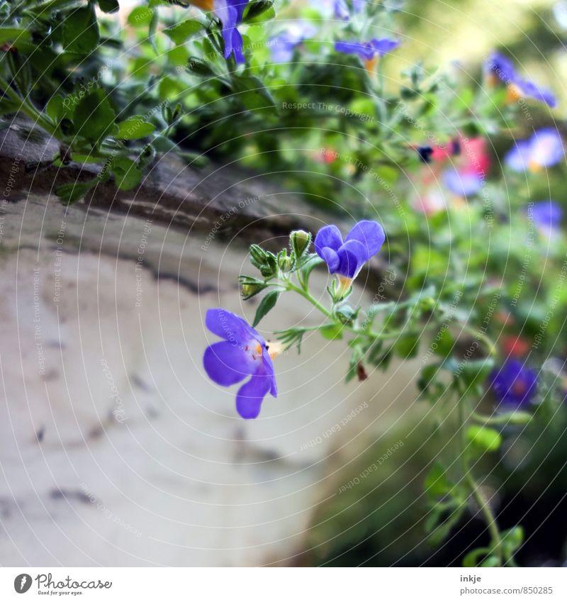Blumentopf Umwelt Natur Pflanze Frühling Sommer Blüte Garten Park Blühend schön klein nah natürlich blau grün Ranke Farbfoto mehrfarbig Außenaufnahme