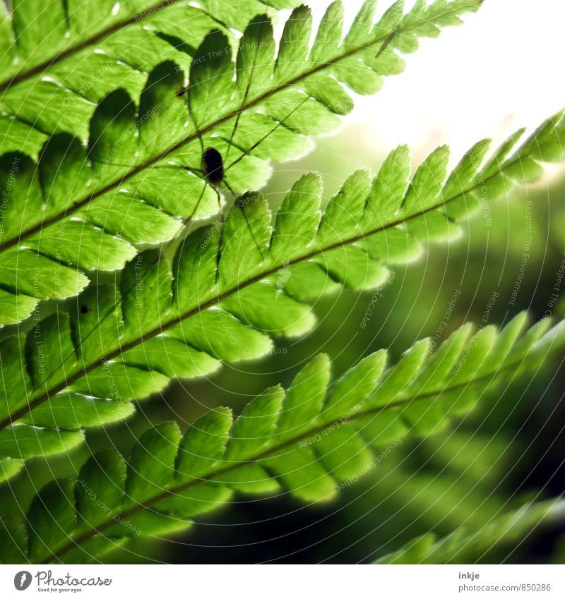 flora und fauna Umwelt Natur Pflanze Tier Frühling Sommer Schönes Wetter Farn Blatt Garten Park Wildtier Spinne weberknecht 1 hocken sitzen Ekel nah grün