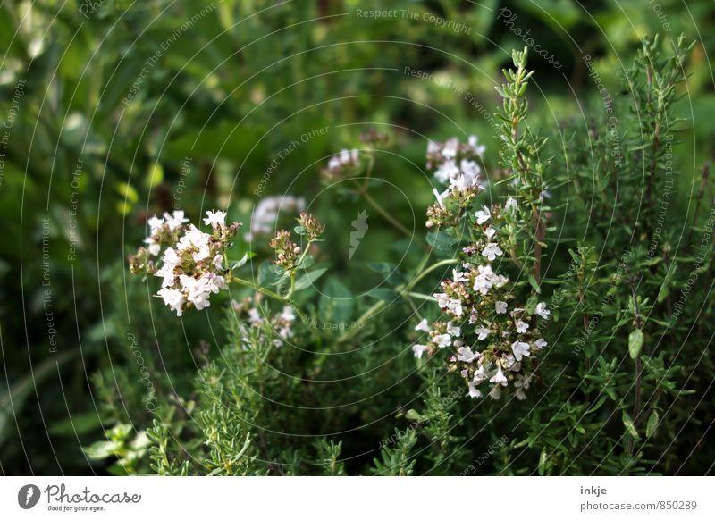 Kräuterbeet Lebensmittel Kräuter & Gewürze Ernährung Frühling Sommer Pflanze Blume Nutzpflanze Wildpflanze Rosmarin Kräutergarten Garten Blühend frisch
