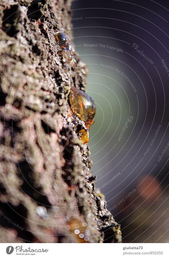 Bernstein... vielleicht in ein paar Millionen Jahren Umwelt Natur Schönes Wetter Baum Kirschbaumrinde beobachten schön gold ruhig Baumharz Baumstamm Baumrinde