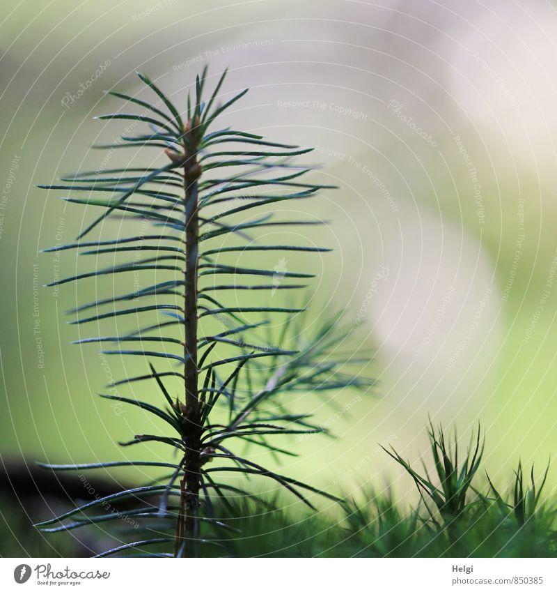 Nachwuchs... Umwelt Natur Pflanze Sommer Baum Moos Wildpflanze Fichte Tannennadel Nadelbaum Wald stehen Wachstum ästhetisch authentisch einfach einzigartig