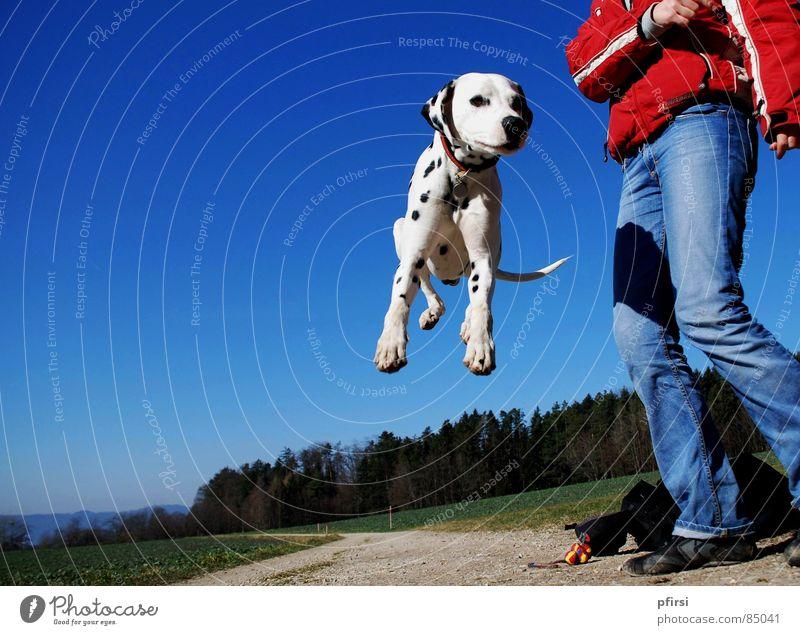 Frühlings-Freuden Dalmatiner Dalmatien Hund Haustier hüpfen springen Pfote Wald Spaziergang Lebensfreude Säugetier enzo dalmation dalmatian dog Punkt Himmel