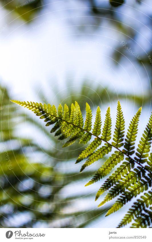 farn Pflanze Himmel Sommer Schönes Wetter Gras Sträucher Blatt Grünpflanze Wildpflanze Wald frisch natürlich grün Natur Farn Farbfoto Außenaufnahme Nahaufnahme
