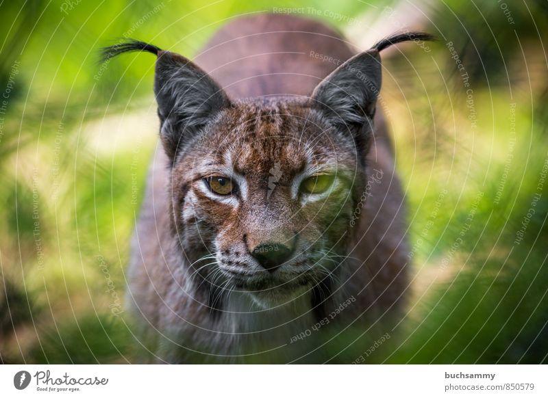 Luchs Tier Fell Wildtier Katze Tiergesicht Zoo 1 braun gelb grün Augen Barthaare Kamerablick Laurasiatheria Landraubtier Raubtieraugen Wildkatze gefleckt