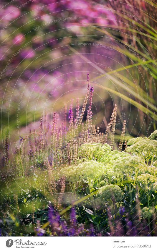 Gartensommer Natur Pflanze Sommer Gras Sträucher Grünpflanze Gartenpflanzen Naturgarten paradiesisch Park Duft natürlich mehrfarbig grün rosa Farbfoto